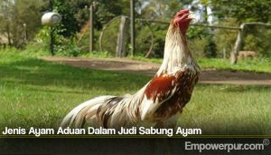 Jenis Ayam Aduan Dalam Judi Sabung Ayam