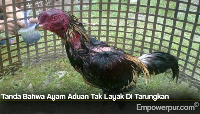 Tanda Bahwa Ayam Aduan Tak Layak Di Tarungkan