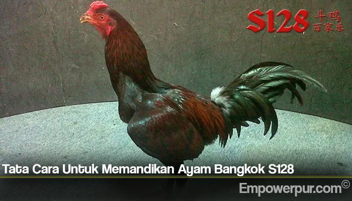Tata Cara Untuk Memandikan Ayam Bangkok S128