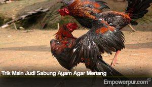 Trik Main Judi Sabung Ayam Agar Menang
